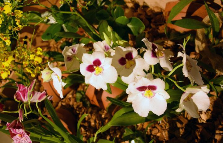 Orchideenausstellung 2020_Blumen_5
