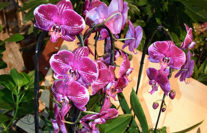 Orchideenausstellung 2020_Blumen_7
